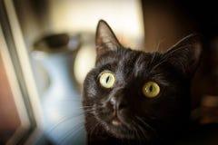 Huvud av den svarta katten på bakgrund av en blå vas Arkivbild