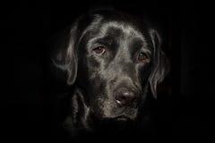Huvud av den svarta labrador på den svarta bakgrunden Fotografering för Bildbyråer