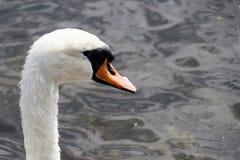 Huvud av den våta vita svannärbilden Royaltyfri Fotografi