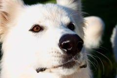 Huvud av den vita hunden Royaltyfria Bilder