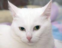 Huvud av den vita katten Royaltyfri Fotografi