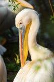 Huvud av den vita pelikan (Pelecanusonocrotalusen) arkivfoton