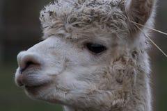 Huvud av en alpaca med vitt hår arkivfoto