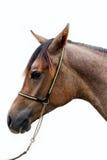 Huvud av en arabisk häst för shagya mot vit bakgrund Royaltyfri Bild