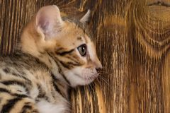 Huvud av en Bengal kattunge på bakgrunden av träbräden royaltyfria bilder