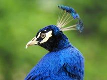 Huvud av en blå påfågel på grön bakgrund arkivbilder