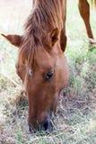 Huvud av en brun häst Fotografering för Bildbyråer