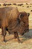 Huvud av en buffel i Custer Park arkivbilder