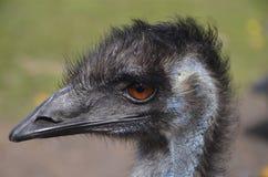 Huvud av en emu Arkivfoto
