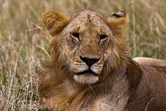 Huvud av en framtida konung kenya Fotografering för Bildbyråer