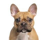 Huvud av en fransk bulldogg royaltyfria foton