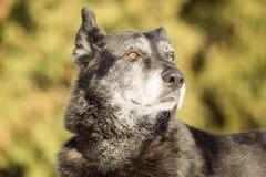 Huvud av en gammal hund royaltyfri fotografi