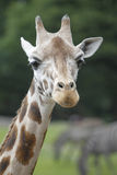 Huvud av en giraff Royaltyfri Foto