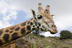 Huvud av en giraff Royaltyfria Bilder