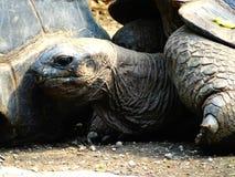 Huvud av en jätte- sköldpadda på galapagos öar royaltyfria bilder