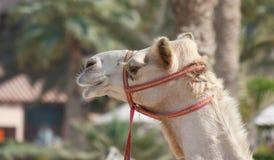 Huvud av en kamel arkivfoton