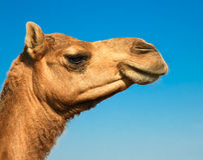 Huvud av en kamel på safari - Royaltyfria Bilder