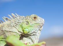 Huvud av en kameleont mot blå himmel Royaltyfri Foto