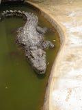 Huvud av en krokodil som ligger på jordningen Royaltyfria Bilder