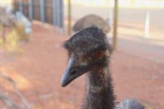 Huvud av en lös emu i closeup i den australiska vildmarken Arkivbild