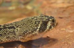Huvud av en orm Arkivbilder