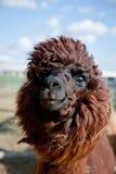 Huvud av en rolig Alpaca Royaltyfri Fotografi
