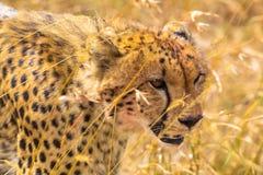 Huvud av en stor gepard mara masai Kenya Afrika royaltyfri fotografi