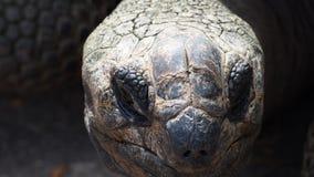 Huvud av en stor sköldpadda royaltyfri fotografi