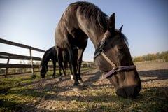 Huvud av en stor svart häst Fotografering för Bildbyråer