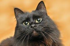 Huvud av en svart katt på en röd bakgrund Royaltyfria Foton