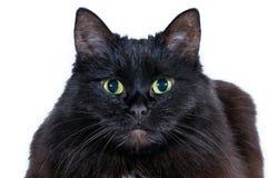 Huvud av en svart katt på en vit bakgrund Fotografering för Bildbyråer
