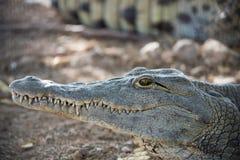 Huvud av en ung amerikansk krokodil Arkivbild