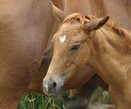 Huvud av ett gulligt nyfött föl royaltyfri foto