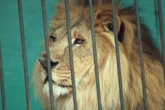Huvud av ett lejon bak stänger Arkivbild