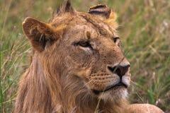 Huvud av ett ungt lejon kenya Arkivfoton