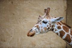 Huvud av giraffet med väggbaksidajordning fotografering för bildbyråer