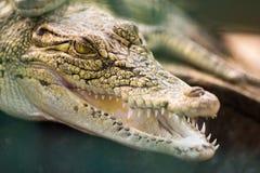 Huvud av krokodilen Arkivbild