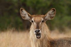 Huvud av kvinnlign Waterbuck med munnen som är öppen i bushvelden Royaltyfri Fotografi
