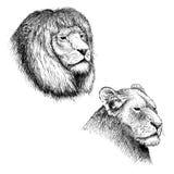 Huvud av lejonet och lejoninnan vektor illustrationer