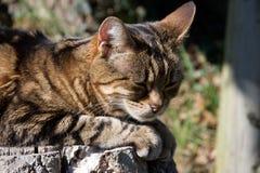 Huvud av ljust rödbrun och svart randig katt en brunt som, vilar i solen royaltyfria foton