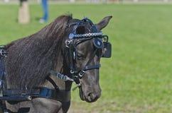 Huvud av miniatyrhästen i sele Arkivfoton