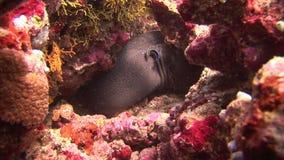Huvud av moray på bakgrundskorall som är undervattens- i havet av Maldiverna stock video