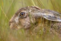 Huvud av nederlaget för europeisk hare i vegetation royaltyfria bilder