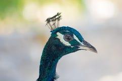 Huvud av påfågelslutet upp royaltyfri fotografi