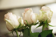 Huvud av rosor royaltyfri bild