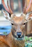 Huvud av Sika hjortar Fotografering för Bildbyråer