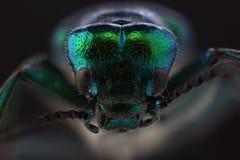 Huvud av skalbaggen - Lytta för spansk fluga vesicatoria Makro arkivbild