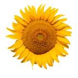 Huvud av solrosen som isoleras på vit Fotografering för Bildbyråer