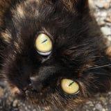 Huvud av strimmig kattkatten royaltyfria bilder