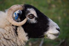 Huvud av svarta vände mot får som äter gräs royaltyfri bild